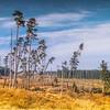 Lone pine trees