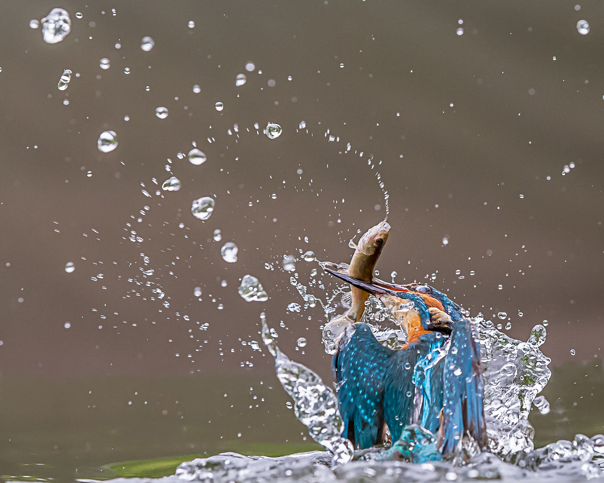 Kingfisher emerging from the water with a fish.