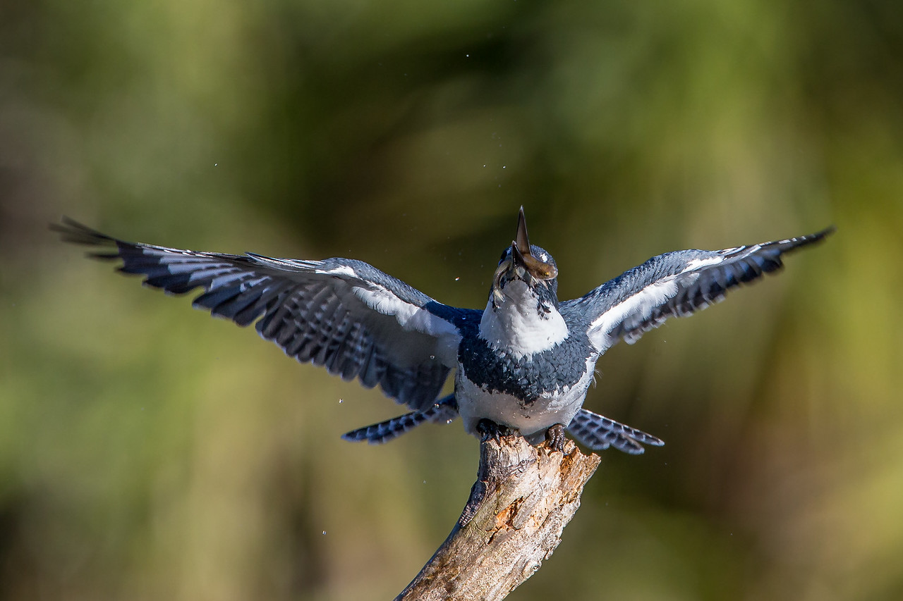 A Belted Kingfisher - taken in Florida