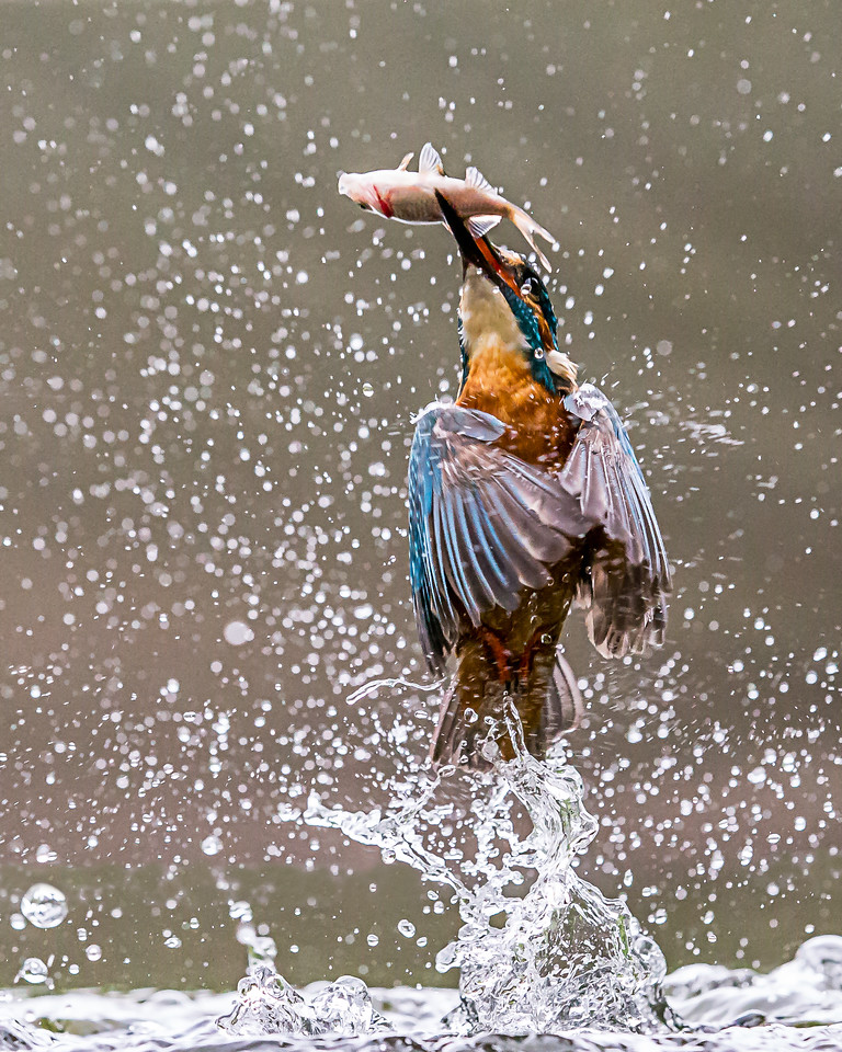 A kingfisher leaving the water with a fish.
