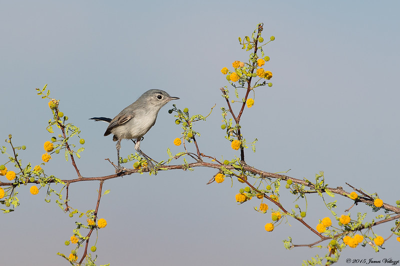 Black-tailed Gnatcatcher, Polioptila melanura
