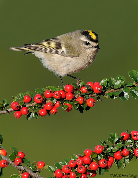 Golden-crowned Kinglet, Regulus satrapa