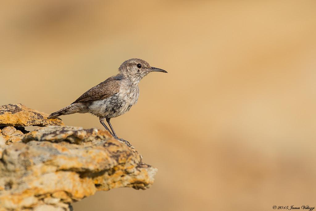 Rock Wren, Salpinctes obsoletus