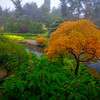 Young Japanese Maple by a Misty Pond