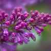 Lilac Tears of Joy