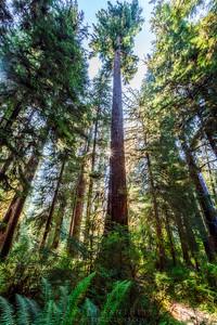 Giants- Hoh Rainforest