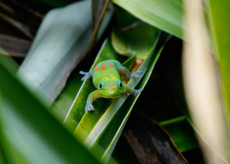 Gecko Staredown