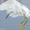 Snowy Egret in action; Merritt Island NWR