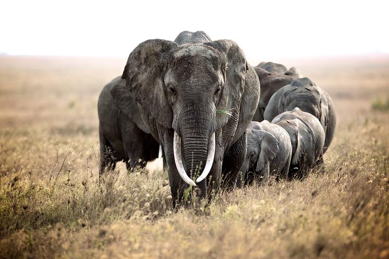 African Elephant, Serengeti