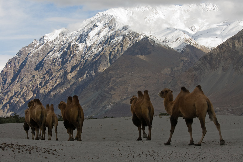 Bactrian camels, Nubra Valley, Ladakh