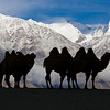 Bactrian camels before the Saser Muztagh Range, Trans Himalaya, Ladakh