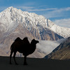 Bactrian camel in the Nubra Valley, Ladakh, Northern India