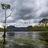 Lone birch tree at Buttermere, Lake District.