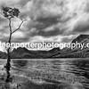 Lone birch tree at Buttermere - monochrome. Lake District.