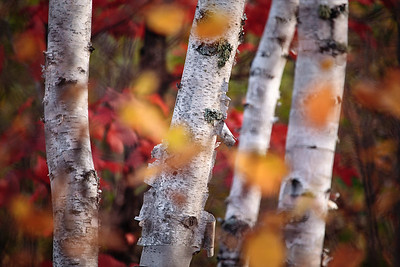 Four Birches in Fall Forest