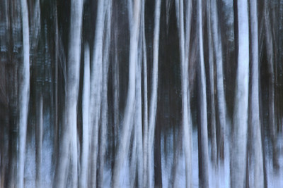Winter Birch Abstract