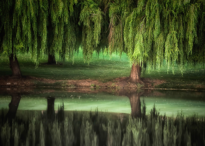 Willow Dream