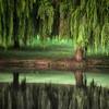 Willow Dream