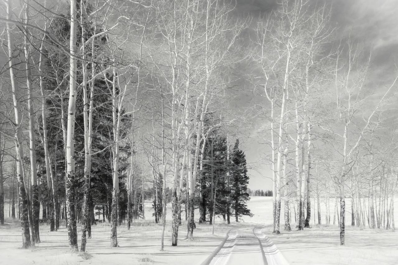 Aspens in Winter 2