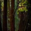 Redwood Ligiht