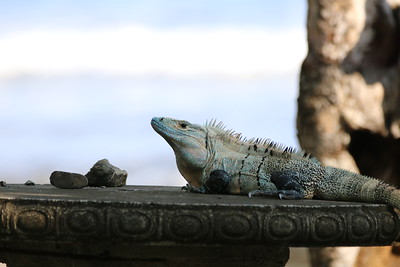 Iguana on a table at the beach