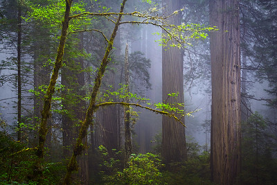 Redwood National and State Parks, CA -  An up close and personal view of an old growth coastal redwood forest.