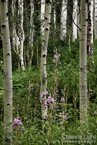 Wildflowers and Aspens