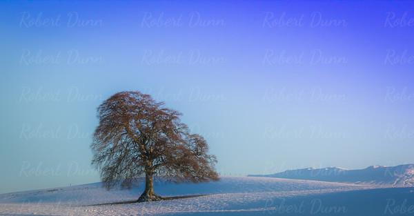 Lone oak tree near Drymen