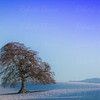 Lone oak tree near Drymen