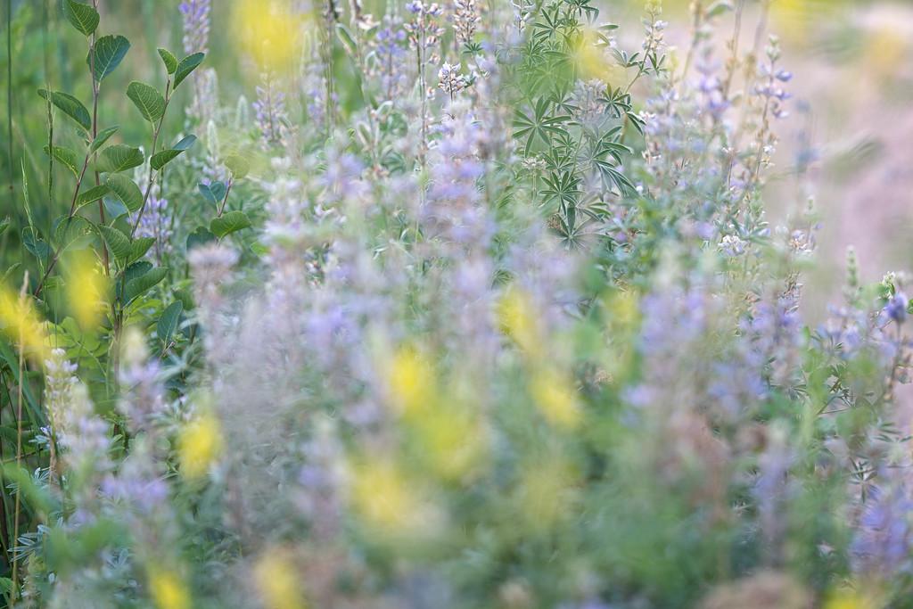 Utah Mountain Wildflowers 2