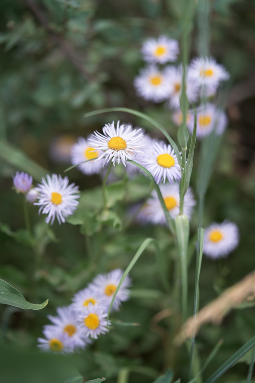 Leafy Aster