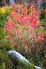 Vibrant Mini Maples