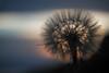 Giant Dandelion at Dusk 1
