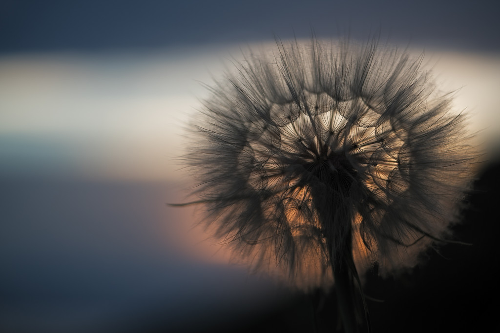 Giant Dandelion at Dusk 1