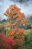 Orange Autumn Maple