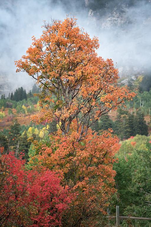Orange Autumn Maple