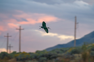 Utah Lake Ibis in Flight
