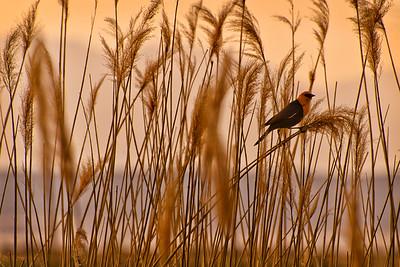 Lakeside Yellowheaded Blackbird
