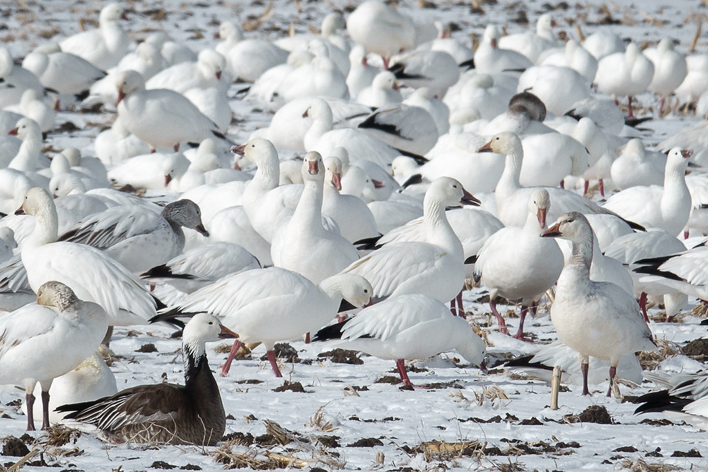 Blue Morph Ross's Goose and Snow Geese