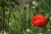 Lambert Park Poppies 04