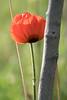Lambert Park Poppies 11