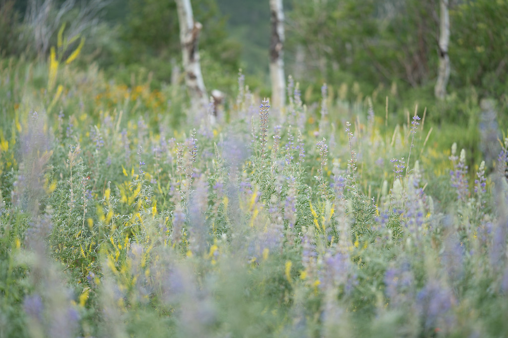 Utah Mountain Wildflowers 4
