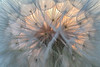 Dandelion Sunset 2
