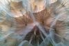Dandelion Sunset 1