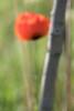 Lambert Park Poppies 10