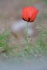 Lambert Park Poppies 01