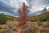 Stormy Autumn Maple