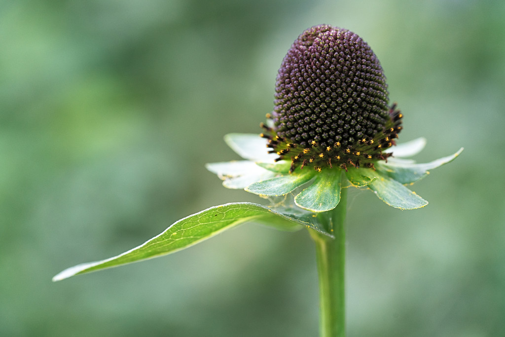 Blackheaded Western Coneflower