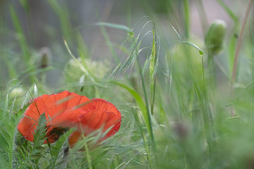 Lambert Park Poppies 12