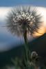 Giant Dandelion at Dusk 2